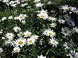 seekay GB Natif GRANDE MARGUERITE - Leucanthemum vulgare - 6,000 graines - Fleurs sauvages
