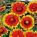 Kokardenblume 'Kobold' (Gaillardia aristata) - 1 Pflanze von Garten Schlüter bei Du und dein Garten