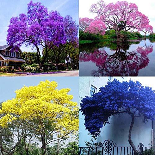Cioler Blauglockenbaum Samen Paulownia Samen mit betörend duftenden Blüten Blumensamen mehrjährig winterhart