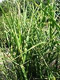 Chinagras Zebragras Miscanthus sinensis Zebrinus Solitär im 10 Liter Pflanzcontainer