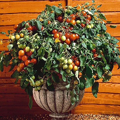 Jardin Express XG76 6 Prestimottes Tomate Cerise F1 Tumbler, Multicolore, 24.5 x 24 x 4.2 cm