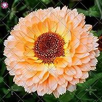 100 piezas Calendula officinalis Semillas Semillas hermosas flores de plantas Bonsai perenne para jardín fácil de cultivar 6