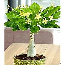 Suchergebnis auf f r exotische zimmerpflanzen for Exotische zimmerpflanzen