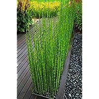 Vendita Piante Bambu Milano.Amazon It Bambu Piante Semi E Bulbi Giardino E Giardinaggio