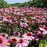 Balcón Excluidos de semillas regulares de embellecimiento Templado Pequeño Echinacea La germinación mejor ratio de 100 semillas (song guo ju)