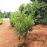 Las semillas de la fruta 30pcs brasileña árbol de uva Semillas Jabuticaba Crece frutas en su planta de jardín Decoración del tronco