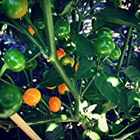 Charapita Chili , 10 Samen -Teuerste Chili der Welt- WILDCHILI