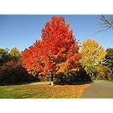 Tree seeds Online - Quercus Robur, Inglés Roble 5 calor tratado semillas - 2 Paquetes