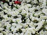Japanische Azalee Schneeperle Rhododendron weiß-grün blühend Lieferhöhe 25-30 cm im Topf
