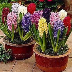 Humphreys Garden Hyacinth Jacintos Mixed x 10 Bulbs Bulbos de Flores