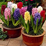 Humphreys Garden Hyacinth Jacinthes Mixte x 10 Bulbs Bulbes