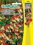 Sternwinde 'Mina Lobata' gelb-rot, Kletterpflanze, interessante Blüten ( mit Stecketikett) 'Quamoclit' 'Ipomea quamoclit'