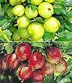 BALDUR-Garten Stachelbeer-Sträucher-Set, 2 Pflanzen von Baldur-Garten auf Du und dein Garten
