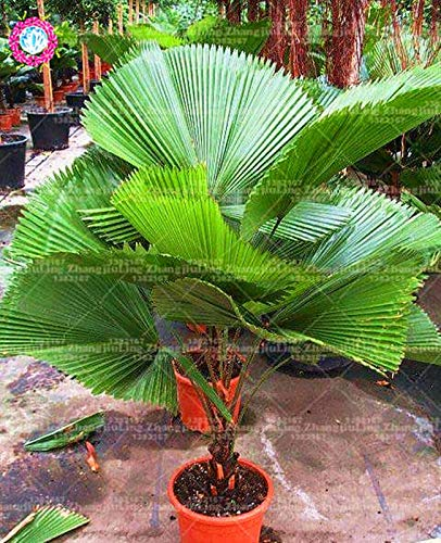 pinkdose 10pcs / bag palma pianta perenne bonsai piante ornamentali di piante bonsai tropical garden ornamenti piante sempreverdi
