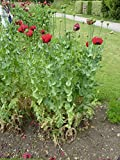 Papaver Somniferum, Traditional Cottage Garden Poppy Seeds, 25g approx 50000 seeds