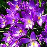 TOPmountain Safran-Krokus-Dekor-Blumensamen 8 Stück Garten Balkon Pflanzen Samen Dekor
