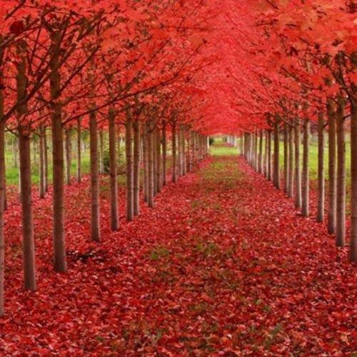 Pinkdose CAROLINA RED SCARLET Acero Acer Rubrum Parco paesaggistica View 20PCS
