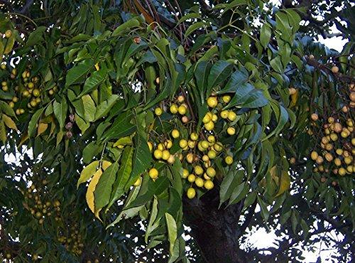 Margousier, Melia azedarach, Graines d'arbres (rapide, Showy, Fragrant) 10pcs