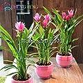 100 Samen Kurkumawurzeln Curcuma Longa Heilkräuter Gewürz * Einfache Pflanzen Bonsai Samen Garten-frische Samen Töpfe wachsen von SVI bei Du und dein Garten