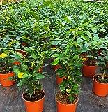 Citrus Hystrix makrut Kaffernlimette มะกรูด Gewürzpflanze essbar