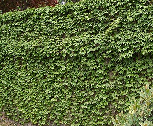Tentaculaires Parthenocissus tricuspidata (Boston Ivy/Creeper de japonais) 100 graines