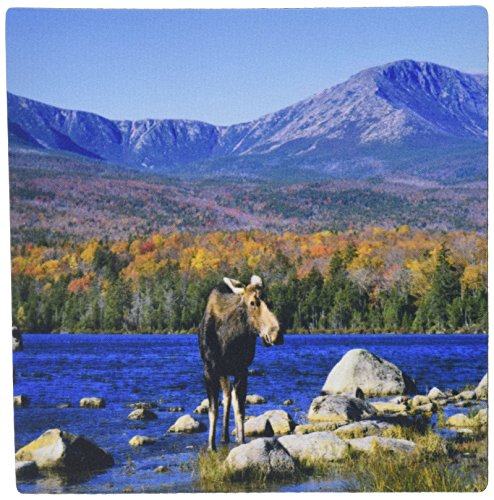 3drose-llc-8-x-8-x-025-inches-cow-moose-wildlife-mt-katahdin-baxter-spa-maine-howie-garber-mouse-pad