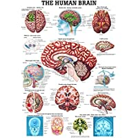 ruediger Anatomía ch14The Human Brain Pizarra, Inglés, 70cm x 100cm, papel