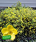 BALDUR-Garten Fingerstrauch 'Goldfinger' Fingerkraut, 1 Pflanze Potentilla fruticosa winterhart