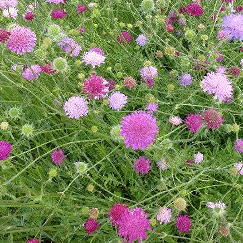 Plant World Seeds - Knautia Macedonica 'Melton Pastels' Seeds