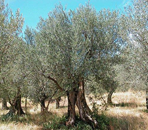Pianta olivo usato vedi tutte i 148 prezzi for Acquisto piante olivo