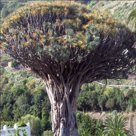 Promozione! 100pcs / bag rari semi Dracaena cinesi 20 varietà Bonsai Semi Garden Novel piante