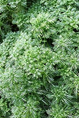 Wasserpflanzen Wolff - Hottonia palustris - Wasserfeder - Wasserprimel, weiß-rosa von Wasserpflanzen Wolff bei Du und dein Garten