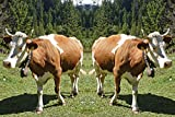 Artland Qualitätsbilder I Poster Kunstdruck Bilder 60 x 40 cm Tiere Haustiere Kuh Foto Natur C8AC Kuh Trennung