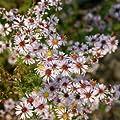 Myrtenaster ( Aster ericoides LOVELY ) von Lichtnelke Pflanzenversand - Du und dein Garten