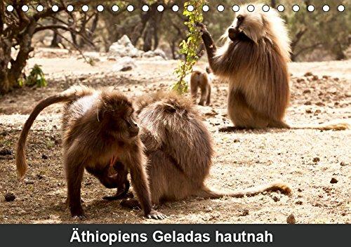 Äthiopiens Geladas hautnah (Tischkalender 2019 DIN A5 quer): Die nur im Hochland Äthiopiens vorkommenden Geladas (Blutbrustpaviane) beeindrucken durch ... 14 Seiten (CALVENDO Tiere)