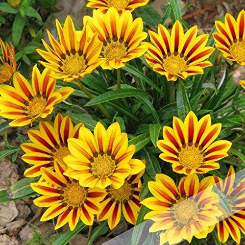 Semirosa 100 pcs semi margherita da prato gerbere perenne calendula officinalis piante semi fiori giardino balcone