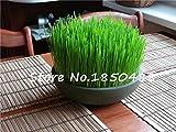 semillas de plantas de follaje de hierba de trigo, semillas de hierba de gato, semillas de trigo, plantas bonsái para el jardín, cerca de 200 partículas
