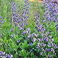 lichtnelke - Indigo - Lupine (Baptisia ' Twilite Prairieblues ') von Lichtnelke Pflanzenversand auf Du und dein Garten