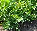 Pflanzenservice Bio-Liebstöckel-Levisticum officinale, 2 Töpfe Kräuter, Grün, 40x25x13 cm von AMZN - Du und dein Garten