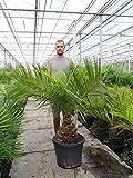 Seltene Jubaea chilensis - Honigpalme - verschiedene Größen (130-150cm - St. 20+cm - PotØ 45cm/45 Ltr.)