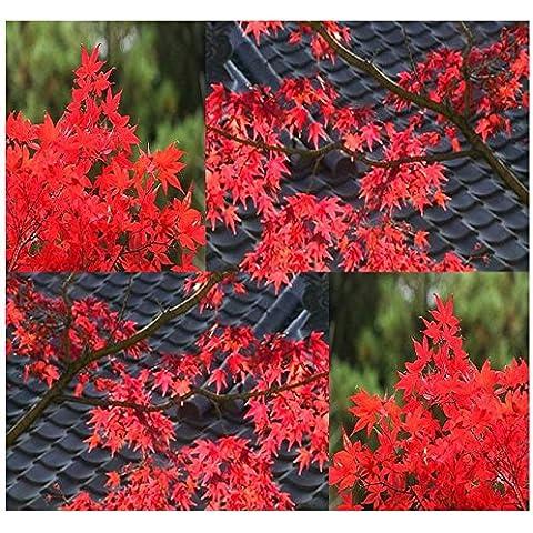 Red Leaf Lace, acero rosso giapponese - Acer Semi -20 semi R019 - Red Fioritura Alberi