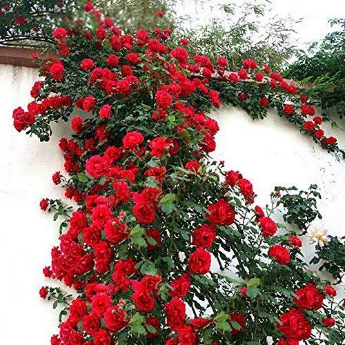 buffyin 100pz / set rosa rampicante semi perenni fragrante casa pianta da giardino multiflora fiore seme - rosso