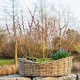 Rote Kätzchenweide 'Rotkätzchen' - Salix - Rotblühende Kätzchenweide 30-40 cm im Container