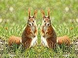 Artland Qualitätsbilder I Wandbilder Selbstklebende Wandfolie 80 x 60 cm Tiere Wildtiere Foto Natur C8EC Rote Eichhörnchen Zwillinge