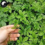 Portal Cool Real Gynostemma Semente 100 Samen Pflanze Kräuter Jiaogulan wachsen Medizin Kräuter-Tee
