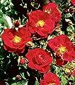 Bodend.Rose 'Heidefeuer' -R- im 4 L Container von Rosen-Union auf Du und dein Garten