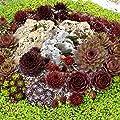 Future Exotics Sempervivum die immer lebende Sukkulente frosthart, 10 Stück von Future Exotics auf Du und dein Garten