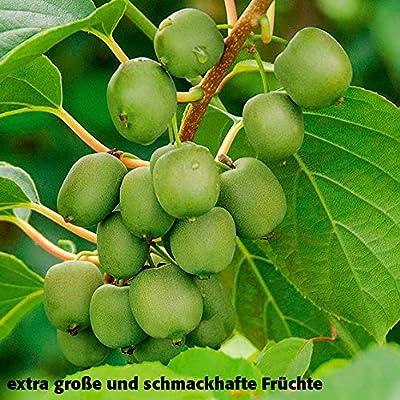 Gärtner Pötschkes XXL Trauben-Kiwi von Gärtner Pötschke bei Du und dein Garten