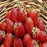 Portal Cool Megan Sha: Riesige rote Erdbeersamen Garten Obstpflanze Sweet & Delicious Veg Fruits Home