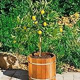 Citrus limon, Zitronen-Stämmchen, 1 Pflanze